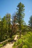 Trail Through Yellowstone Trees Royalty Free Stock Image