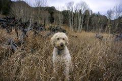 Traildog sammanträde i högväxt gräs Arkivfoton