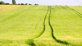 Trailed tractor tracks in young yellow green barley field. Ripening corn plants are blowing in the wind. Three version of DOF. Trailed tractor tracks in young stock video footage