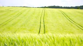 Trailed tractor tracks in young yellow green barley field. Ripening corn plants are blowing in the wind. Three version of DOF. Trailed tractor tracks in young stock footage