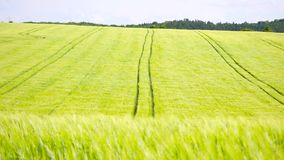 Trailed tractor tracks in young yellow green barley field. Ripening corn plants are blowing in the wind. Three version of DOF. Trailed tractor tracks in young stock video