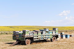 Trailer with bee hives near the sunflower field Stock Images