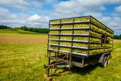 Tobacco sprouts in trailer royalty free stock image