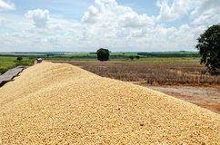 Trailer of a truck fully loaded with soybeans. Farm on background Royalty Free Stock Photography