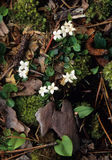 Trailing Arbutus Flowers Royalty Free Stock Images