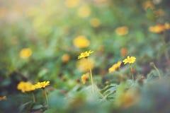 Trailing daisy Royalty Free Stock Image