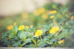 Trailing daisy Royalty Free Stock Photography