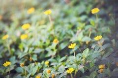 Trailing daisy Stock Photos