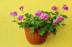 Trailing geranium Stock Images
