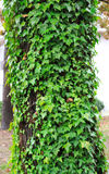Trailing green ivy growing up tree covering bark Royalty Free Stock Images