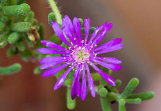 Trailing Iceplant flower Stock Images