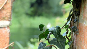 Trailing ivy with a backdrop of river Test Royalty Free Stock Photo