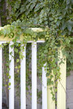 Trailing Ivy Stock Photos