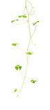 Trailing oxalis Stock Photo
