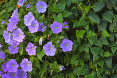 Trailing petunia flowers Stock Images