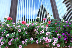 Trailing petunia, surfinia in a hanging basket. Stock Photos