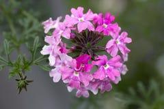 Trailing Pink Verbena 'Sissinghurst' Stock Photography