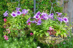 Trailing surfina petunias in hanging baskets Royalty Free Stock Images