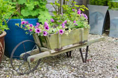Trailing surfina petunias in a wooden wheelbarrow. Stock Photo