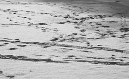 Trails in the snow. Surface of soft snow with trails of human and animal footsteps Royalty Free Stock Images
