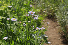 Trailside Wildflowers, Iron Mountain, Oregon. Fleabane growing right next to the trail up to the lookout on Iron Mountain in the Oregon Cascades Royalty Free Stock Photography