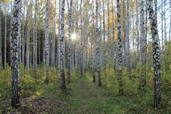 Trailway μεταξύ των δέντρων σημύδων Στοκ Εικόνες