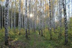 Trailway entre los árboles de abedul Foto de archivo