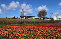 Train drives past flower field in Holland. Commuter train drives past flower field with red and orange flowers in Holland Stock Photos
