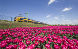 Train and flower fields in Holland Royalty Free Stock Photography