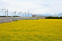 The train passes through the canola flower. Here is the Chinese Qinghai Province MenYuan County Royalty Free Stock Images