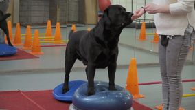 Train professionnel de cynologist le chien pour garder l'équilibre aux plates-formes spéciales clips vidéos