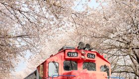 Train between raw of cherry blossom in Jinhae royalty free stock image