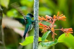 Néctar de consumición del colibrí Imagen de archivo libre de regalías