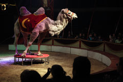 Trained Bactrian camel performs in the Humberto Circus Stock Images