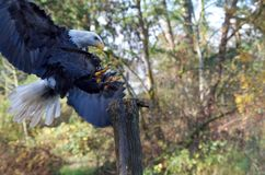 Trained Bald Eagle lands on a post, talons extended. The Raptors, Duncan, BC, November 10, 2018: A trained Bald Eagle lands on a post, talons extended, during a stock photography