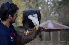 Trained bald eagle perches on falconer`s glove, pecking at hand stock images