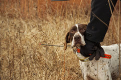 Trained German shorthair bird dog in field Royalty Free Stock Image