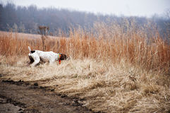 Trained Bird dog on point in field. German Shorthair Bird dog on point for Pheasants royalty free stock image