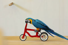 Trained Blue and yellow macaw on a bike. Royalty Free Stock Photos