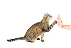 Trained cat high five Stock Images