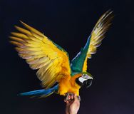 Trained colourful parrot Royalty Free Stock Photos