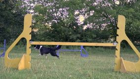 A trained dog border collie jumps over the barrier, slow motion. A trained dog border collie jumps over the barrier a sunny day, slow motion shooting stock video