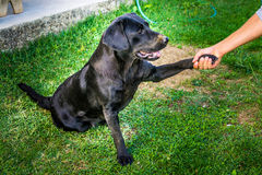Trained dog labrador extends hand to a human Stock Photography