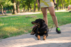 A trained dog lies next to owner Royalty Free Stock Photo