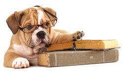 Trained dogs in glasses with books Royalty Free Stock Photos