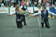 Trained dogs perform at the show Stock Image