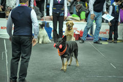 Trained dogs perform at the show Royalty Free Stock Photos