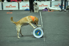 Trained dogs perform at the show Royalty Free Stock Image