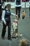 Trained dogs perform at the show  with trainers Stock Photography