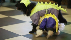 Trained dogs. Performance of trained dogs on children's festival stock video